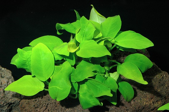 Anubias species Gold