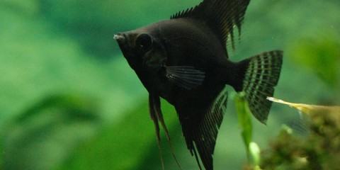 Black angelfish