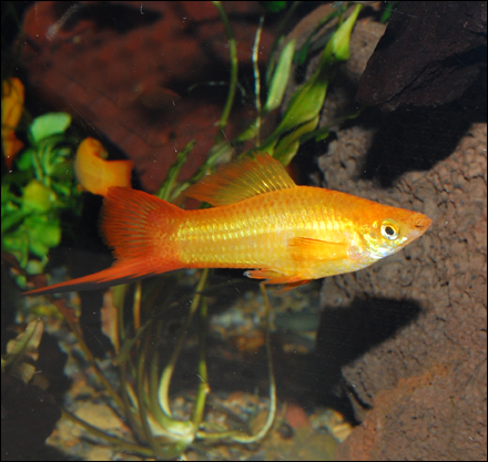 Marigold swordtail
